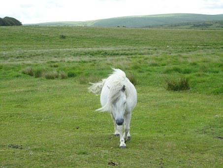 Pony, Horse, Dartmoor Pony, Small Horse Breed, Pasture