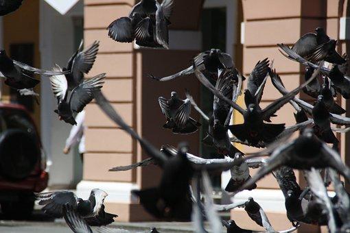 Pigeons, Bird, Rock Pigeon, Feral, Flying, Dove