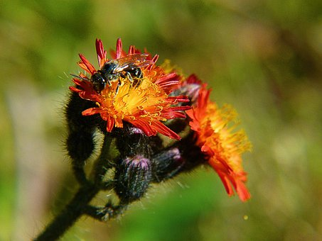 Orange Hawkweed, Orange Red King Devil, Flower, Insect