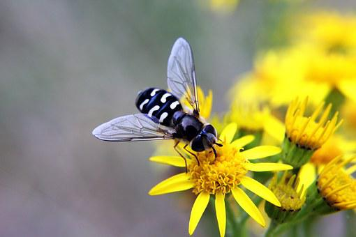 Hoverfly, Insects, Bugs, Flower, Yellow, Wings, Nature