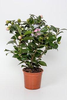 Blumenstock, Flowerpot, Potted Plant, Camelia, Pink
