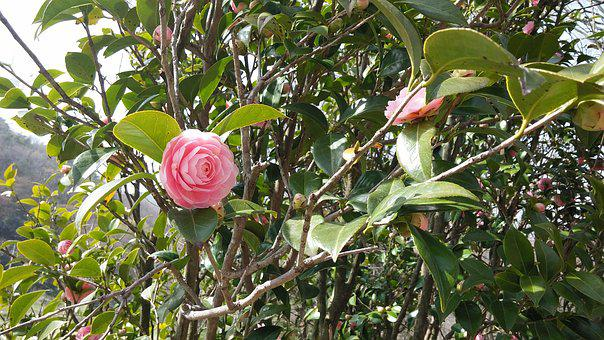 Pink, Flowers, Camellia