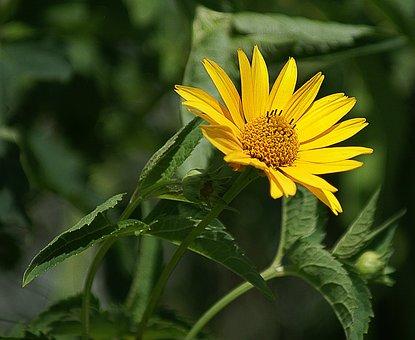 Słoneczniczek Rough, Flower, Yellow, Garden