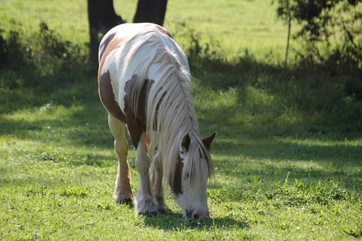 Horse, Pony, Pasture, Small Horse Breed, Graze