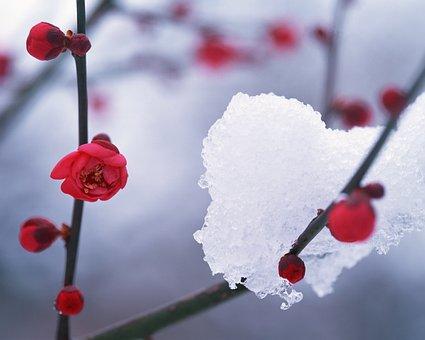 Winter, Snow, Hambaknun, Camellia Flower