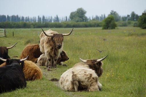 Herd Of Cattle, Cow Herd, Wollmatinger Ried, Pasture