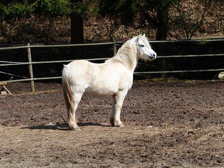 Pony, Horse, Pleasure Horse, Horse Riding Ponyrasse