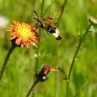Hummingbird Moth, Wild Flower, Plant, Meadow, Orange