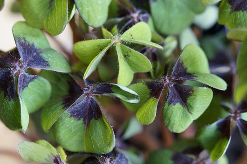 Luck, Lucky Clover, Klee, Vierblättrig, Plant, Sorrel