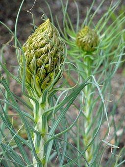 Asphodeline, Lutea, Botanical, Specimen, Perennial