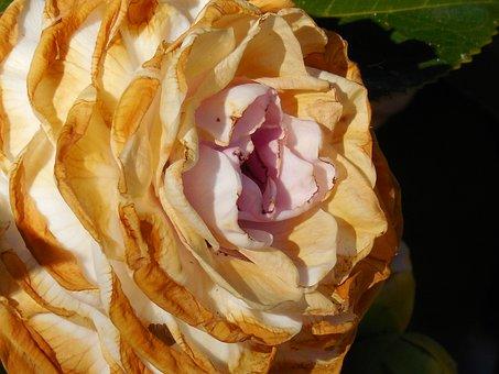 Camellia, Bloom, Flower, Garden, Blossom, Nature