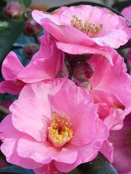 Camellia, Bloom, Seasonal, Nature, Season, Blossom