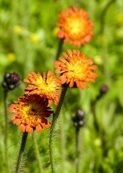 Orange Hawkweed, Wild Flower, Red King Devil, Plant