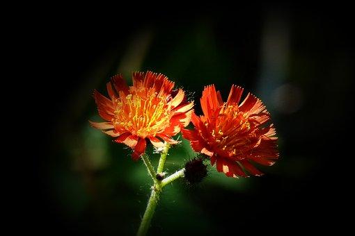 Orange Red King Devil, Orange Hawkweed, Wildflower, Red