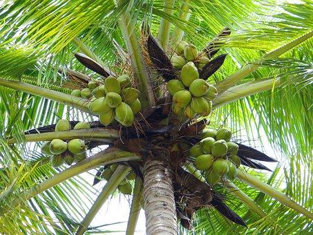 Coconut Palm, Dharwad, India, Palm Tree, Tree, Outdoors