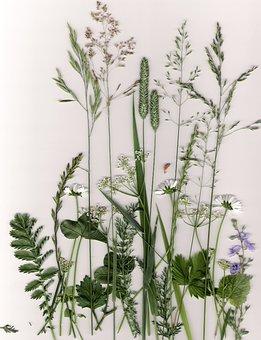 Plants, Grass, Pressed Plants