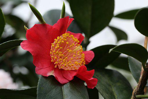 Flowers, Camellia, Rajec Jestrebi, Red