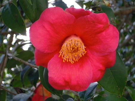Camellia, Univalve, Red, Camellia Japonica