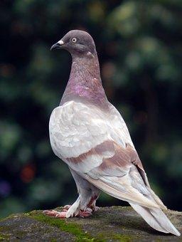 Pigeon, Rock Pigeon, Bird, Dove, Feral, Fauna, Animal