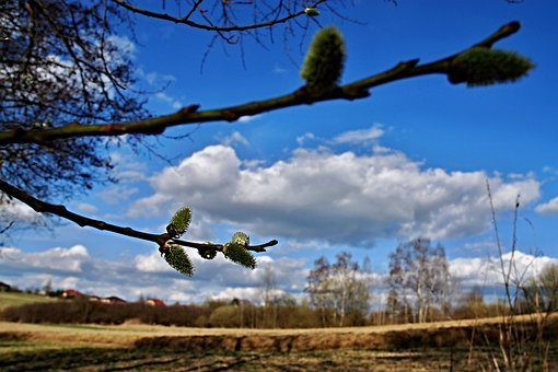 Spring, Messengers Of Spring, Signs Of Spring, Willow
