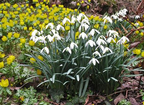 Snowdrop, Winter Linge, Spring, Garden, Early Bloomer