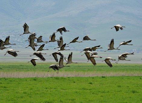 Crane, Homesickness, Trip, Flight, Flock Of Birds