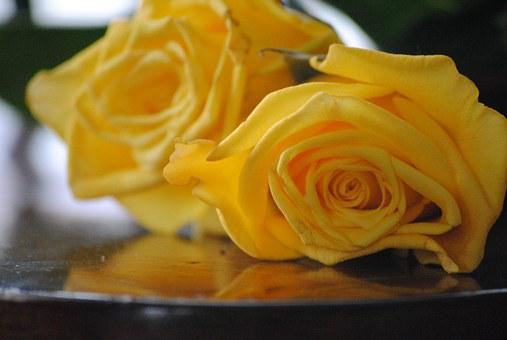 Rose, Yellow, Flower, Floral, Nature, Valentine, White