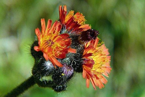 Orange Hawkweed, Orange Red King Devil, Wild Flower