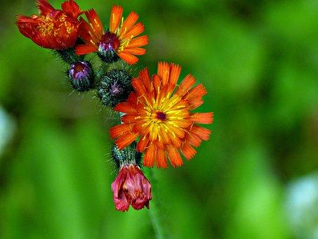 Orange Red Kinge Devil, Orange Hawkweed, Wildflower