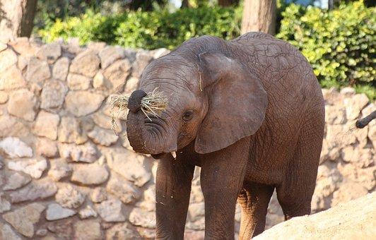 Elephant, Mammal, Wildlife, Safari, Africa, Trunk, Big