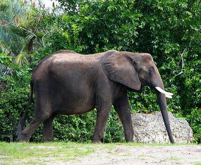 African Elephant, Ivory Tusk, Bull, Pachyderm, Wildlife