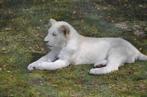 Lion, Lion Cub, White, Albino, Wildlife, Africa, Zoo