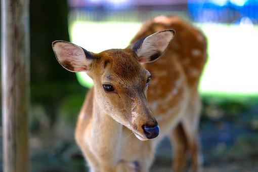 Animal, Close-up, Deer, Doe, Female, Nature, Wildlife