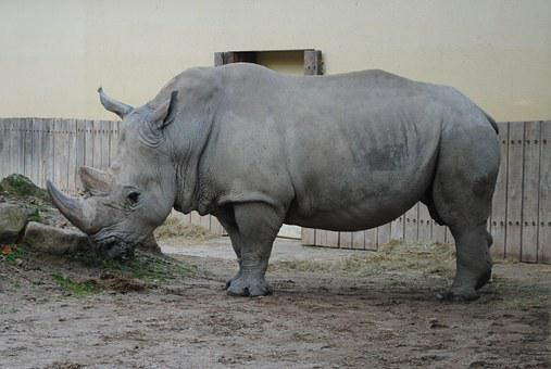 Rhino, Wild, Animal World, Big Game, Zoo
