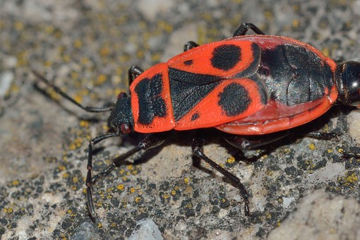 Insects, Bedbugs, Pyrrhocoris, Apterus
