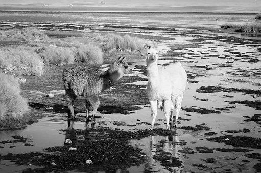 Llama, Alpaca, Atacama Desert, Oasis, Nature