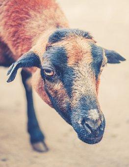 Goat, Brown, Black, Domestic Goat, Animal, Creature