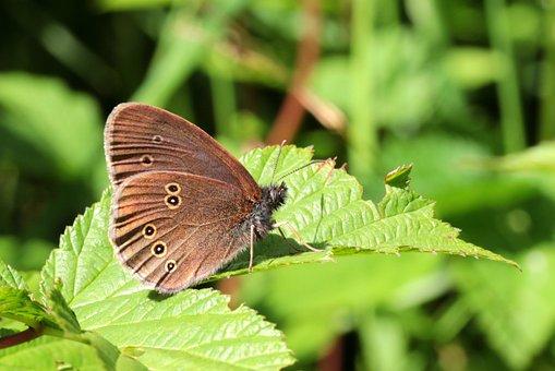 Butterfly, Brown Waldvogel, Aphantopus Hyperantus