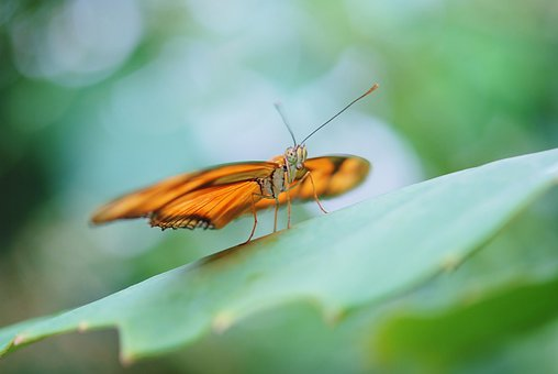Dryas Julia, Julia Longwin, Butterfly, Insect, Orange