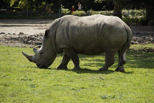 Rhino, Zoo, Meadow, Pachyderm, Creature, Safari, Mammal