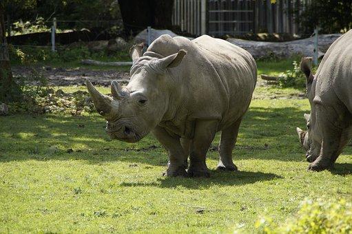 Rhino, Meadow, Zoo, Pachyderm, Creature, Safari, Mammal