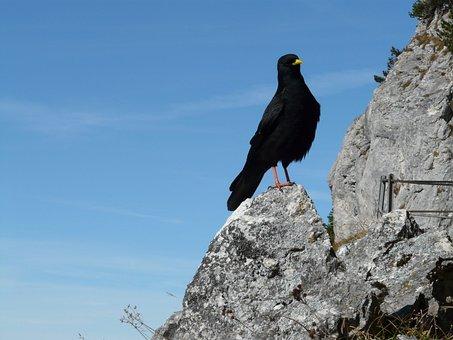 Jackdaw, Bird, Black, Crow, Mountain, Corvus Monedula