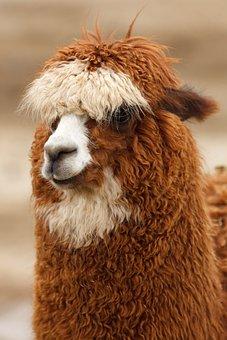 Brown, Head, Wool, Alpaca, Llama, Curly, Cute, Fluffy