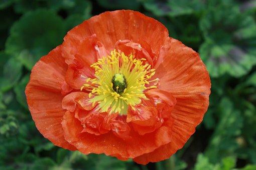 Flowers, Poppy, Nature, Tabitha, Red, Feel, Spring
