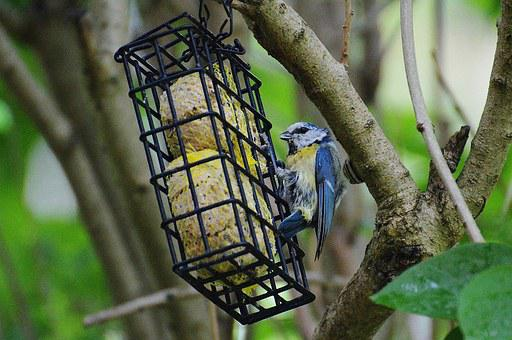 Blue Tit, Bird, Fly, Tit, Bird Seed, Nature, Small Bird