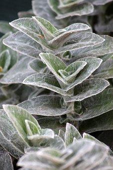 Plant, Balkonnövény, Silky, Foliage, Green, Green Leaf
