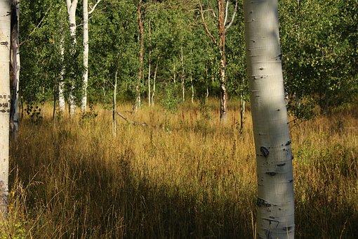 Birch Trees, Nature, Forest, Grass, Quaken Asp Glade