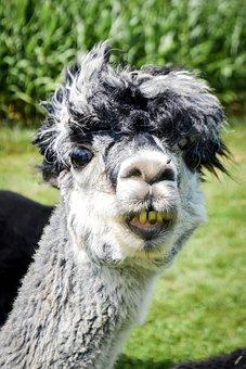 Llama, Alpaca, Funny, Green, Smile, Teeth, Yellow