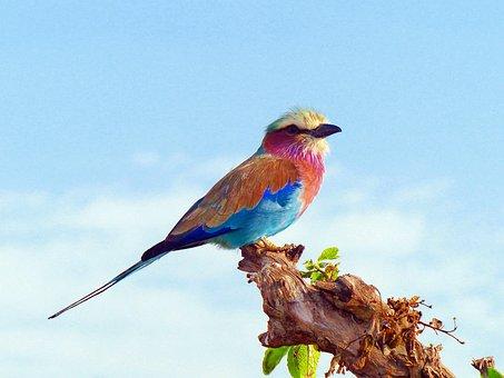 Lilac Breasted Roller, Birds, Africa, Kenya