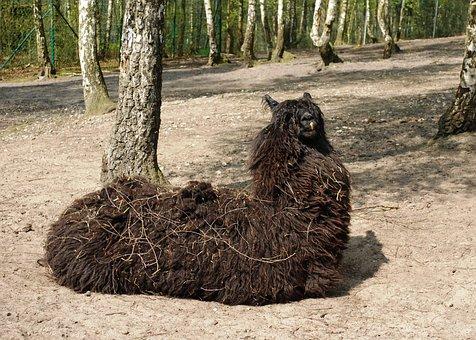 Black Llama, Animal, Wildlife, Wild, Zoology, Mammal